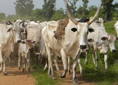 Government Plans Issuance Of Birth Certificates For Cattle